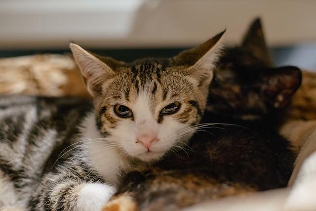Lady_Dinahs_Cats_Balthazar.jpg