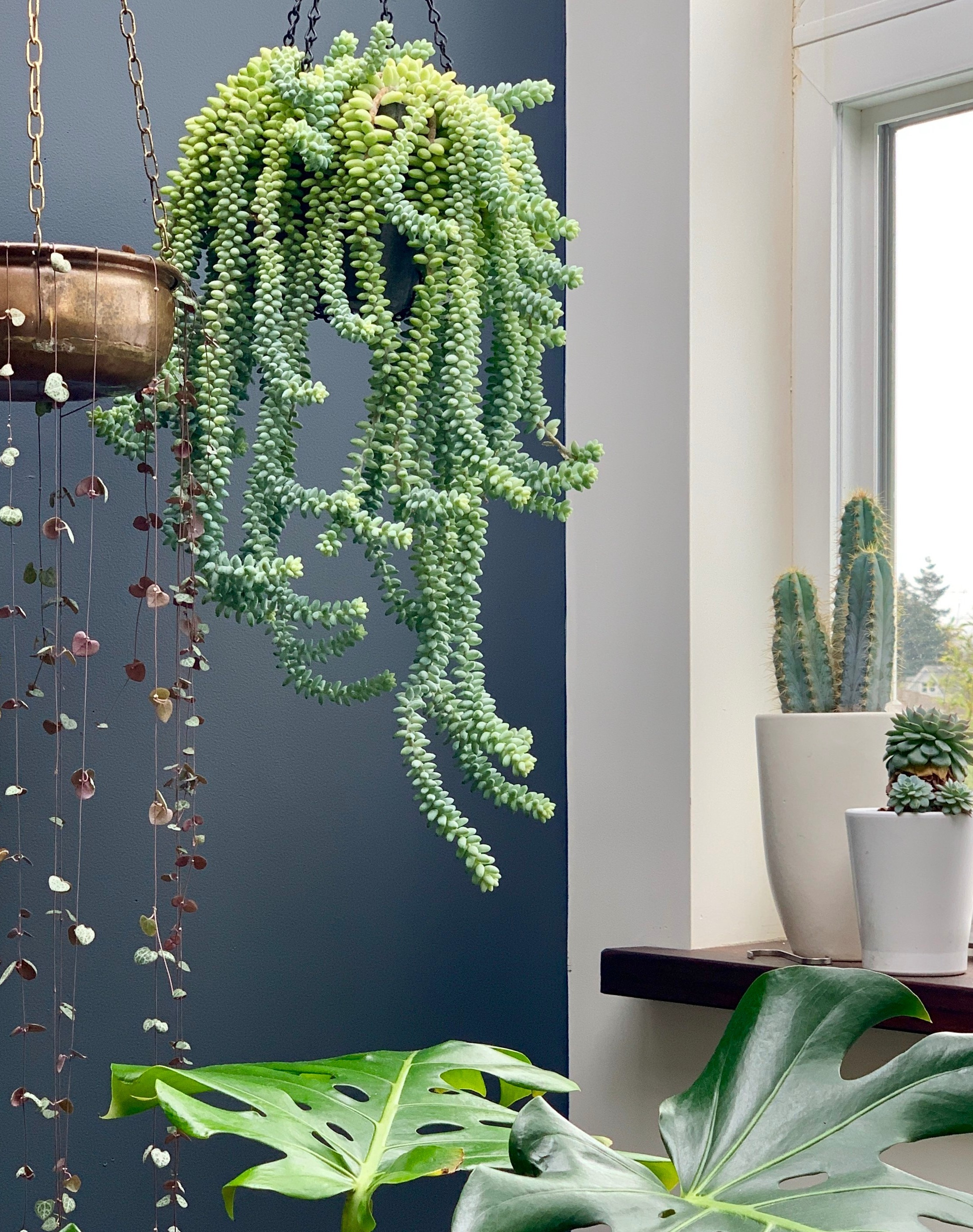 How To Propagate Care For Burro S Tail Sedum Sacred Elements