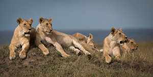 "Screening: ""Vinu– The Elephant Keeper"" and ""Dynasties: Lion"""