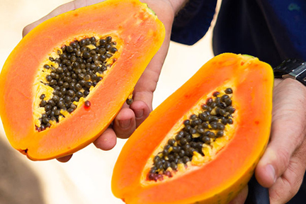 papaya-wp