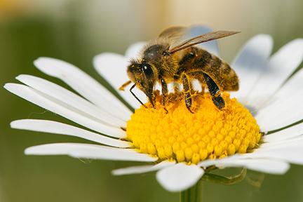 bee-stings-wp
