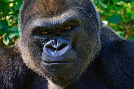 gorilla-pose-wp