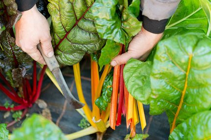 swiss-chard-wp