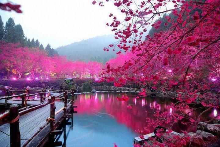 cherry tree pond in Sakura. Japan