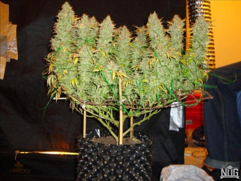 br/>Complete Guide to Cannabis Plant Training — Grassroots RX