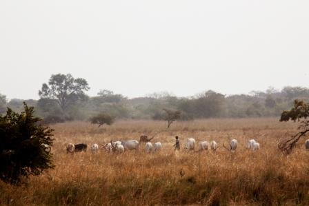 Dry season savanna, South Sudan. Cattle raising community in Kolnyang payam, Jonglei State, South Sudan
