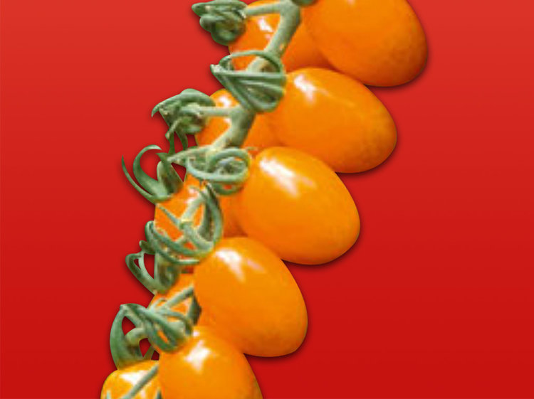 Tomate cerise orange (Sunny)