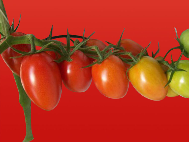 Tomate cocktail olivette grappe (Tom' Olivia)