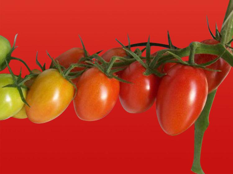 Tomate cerise cœur (Tom' Passionnata)