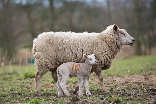 organic-farm-sheep