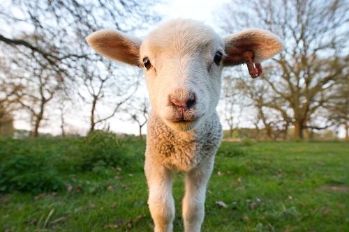 organic-lamb