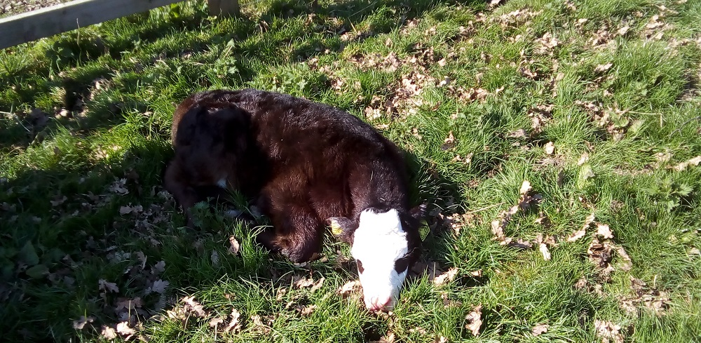 calf-swillington-organic-farm