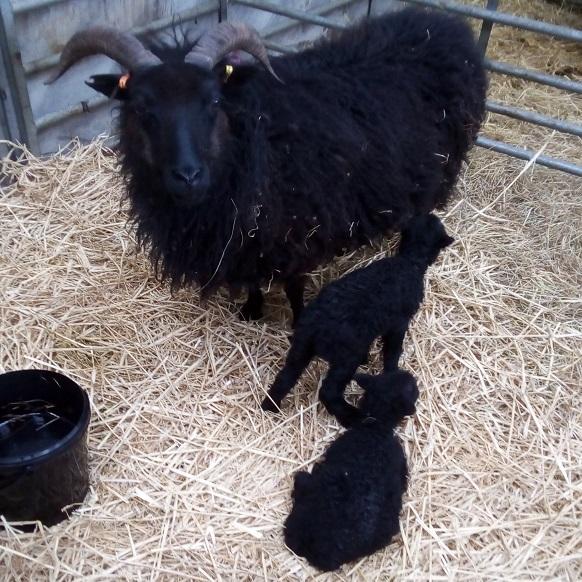 lambs-swillington-organic-farm