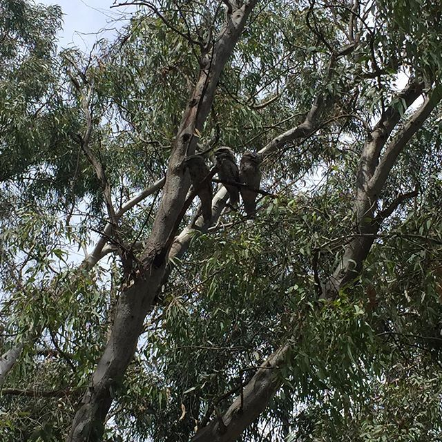 Over the year of our creekulum we've felt the presence of Tawny Frogmouth... in term 2 year 1/2 learning community found hundreds of rain moth casings and speculated that maybe birds such as Tawny Frogmouth were having a feast. Then with 5/6s we began noticing them camouflaged on the branches of gumtrees... with the 3/4s we witnessed the beginning of their nesting season and now Preps have been delighted to meet the baby Tawny Frogmouth hanging with the family! #totem #wurundjericountry #merricreek #tawnyfrogmouth pic by @brionybarr ❤️