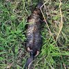 Sad news reposted from @darebin_creek a dulaiwurrung (platypus) was found dead last week because of a plastic stripe tangled in her neck #litterkills #careforcountry #plastic