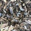 Grubs grubs grubs in the soil of #morelandprimaryschool in Wurundjeri country #grub #soil #underground #wurundjeriland #multispeciesliving #digging