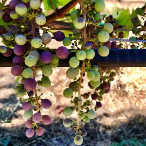 Grapes at Cline Cellars