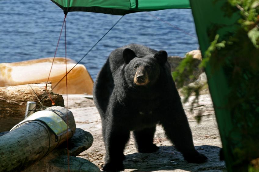 bear-in-camp