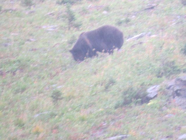 Glacier-grizzly-montana