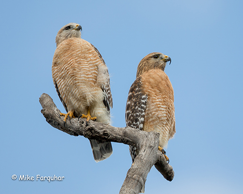 Red-Shouldered Hawks — Phil Hardberger Park Conservancy
