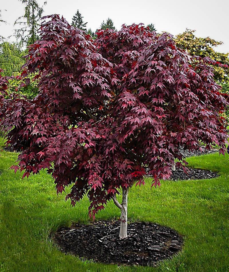 Acer Palmatum Wolff Japanese Maple Ted Collins Tree Landscape