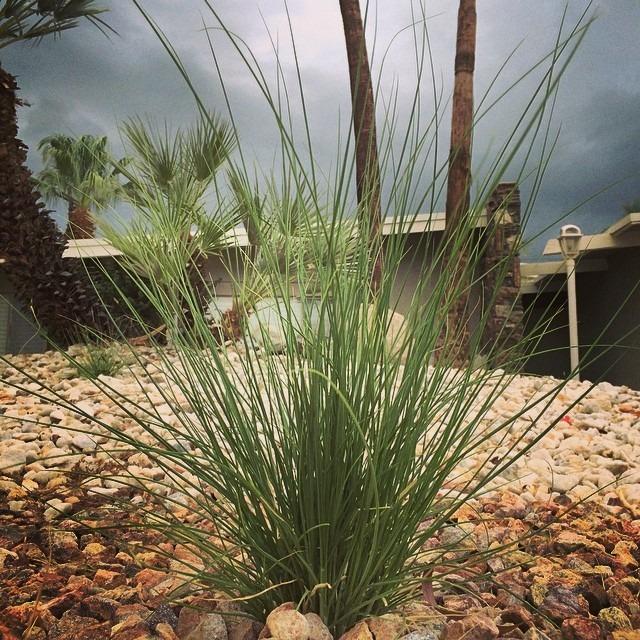 Desert Garden Grass