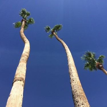 palm-springs-palms