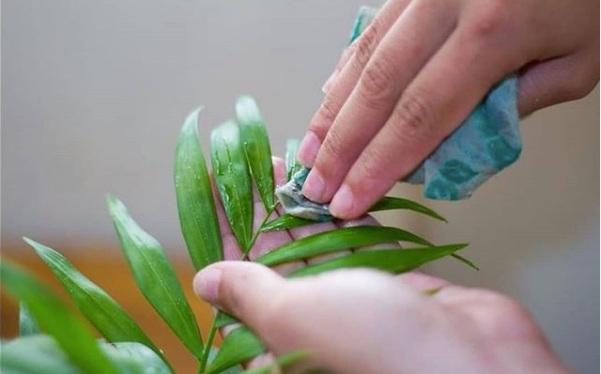 Dépoussiérer et nettoyer les feuilles des plantes vertes