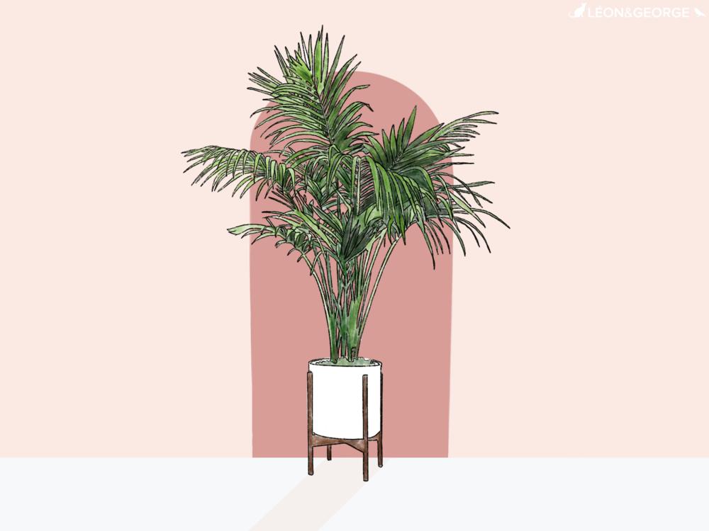 Comment entretenir et sublimer votre palmier Kentia