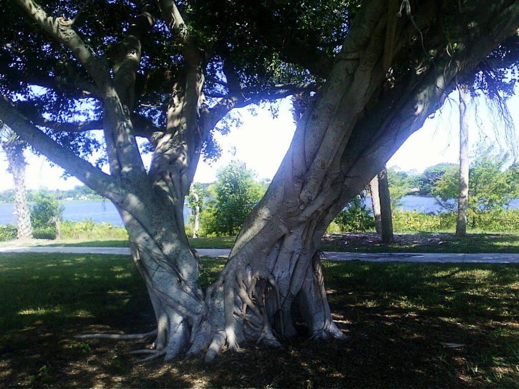 Odd-shaped Tree - Lake Ida
