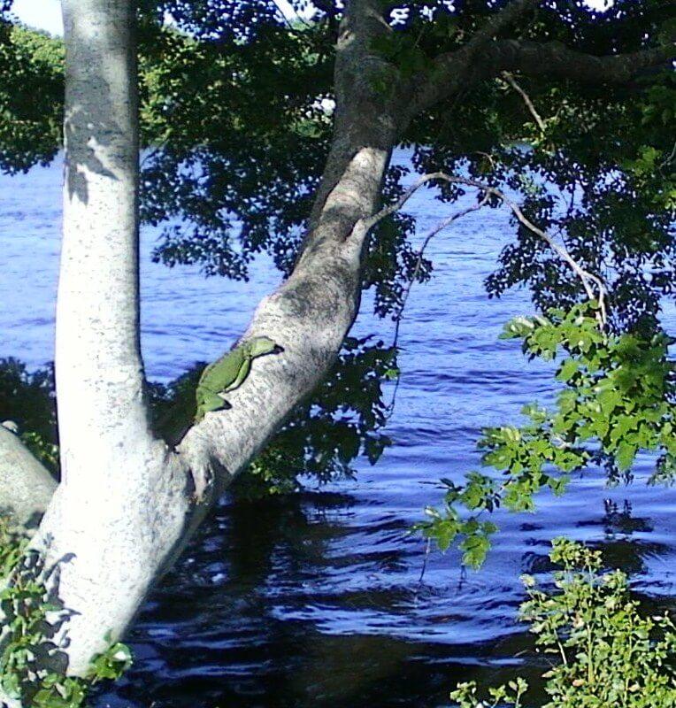 Iguana - Lake Ida