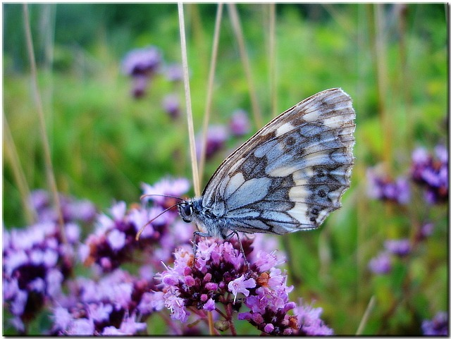 Butterfly on Meadow Flower - Natures Pages