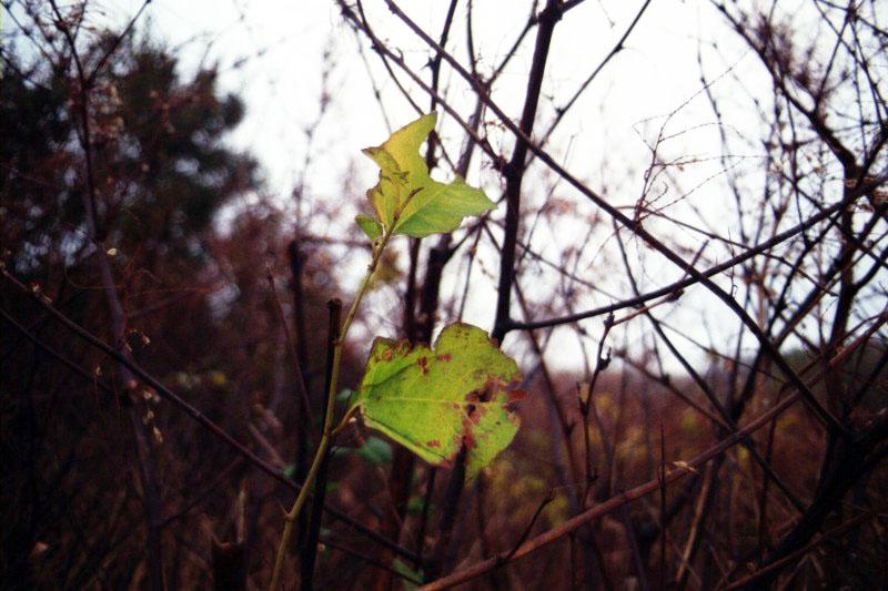 montauk_leaf