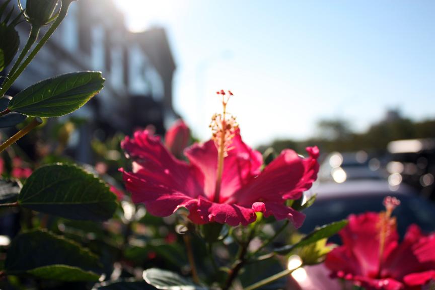hibiscussun