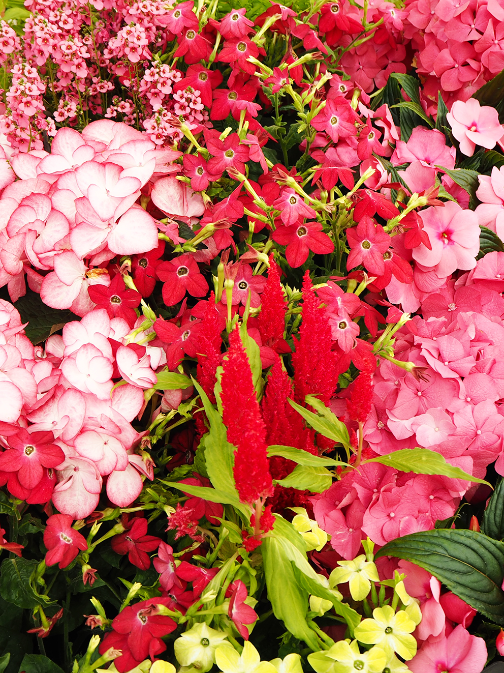French For Pineapple Blog - RHS Chelsea Flower Show 2017 - Close up of pink and red flowers