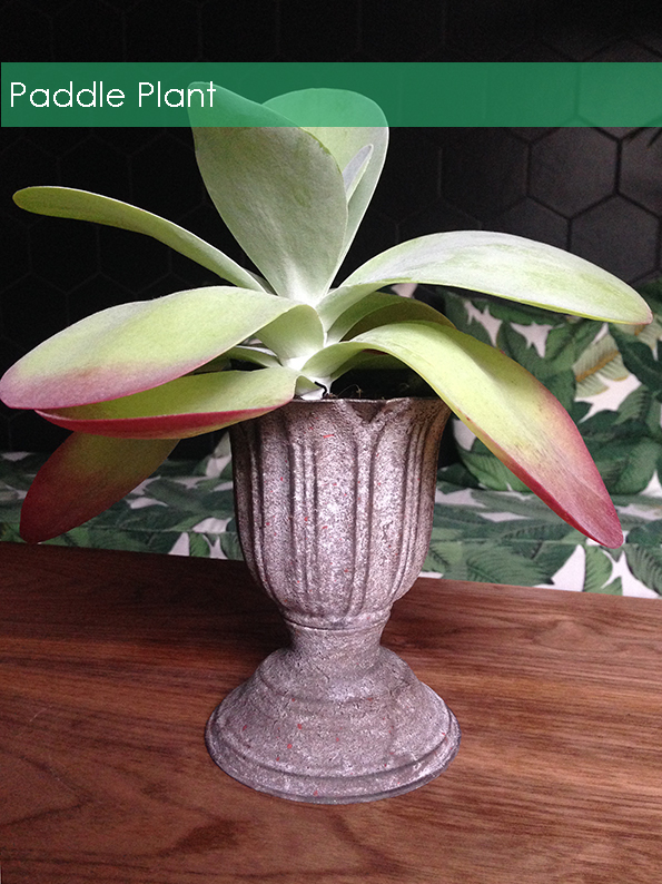 A paddle plant in a metal urn in designer Bianca Halls London Home www.biancahall.co.uk