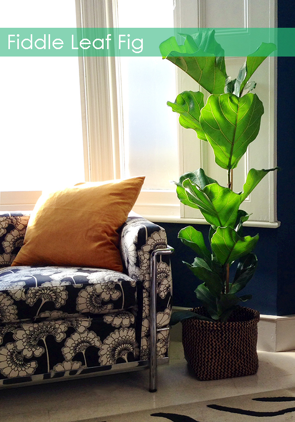 A fiddle leaf fig in designer Bianca Halls London home www.frenchforpineapple.com
