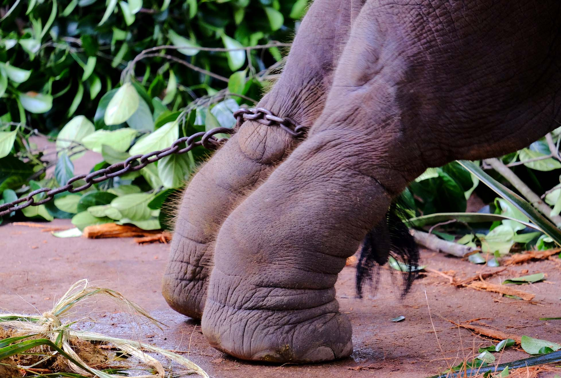 A captive Asian elephant strains against its chains. Image by Bruce Thomson / flickr