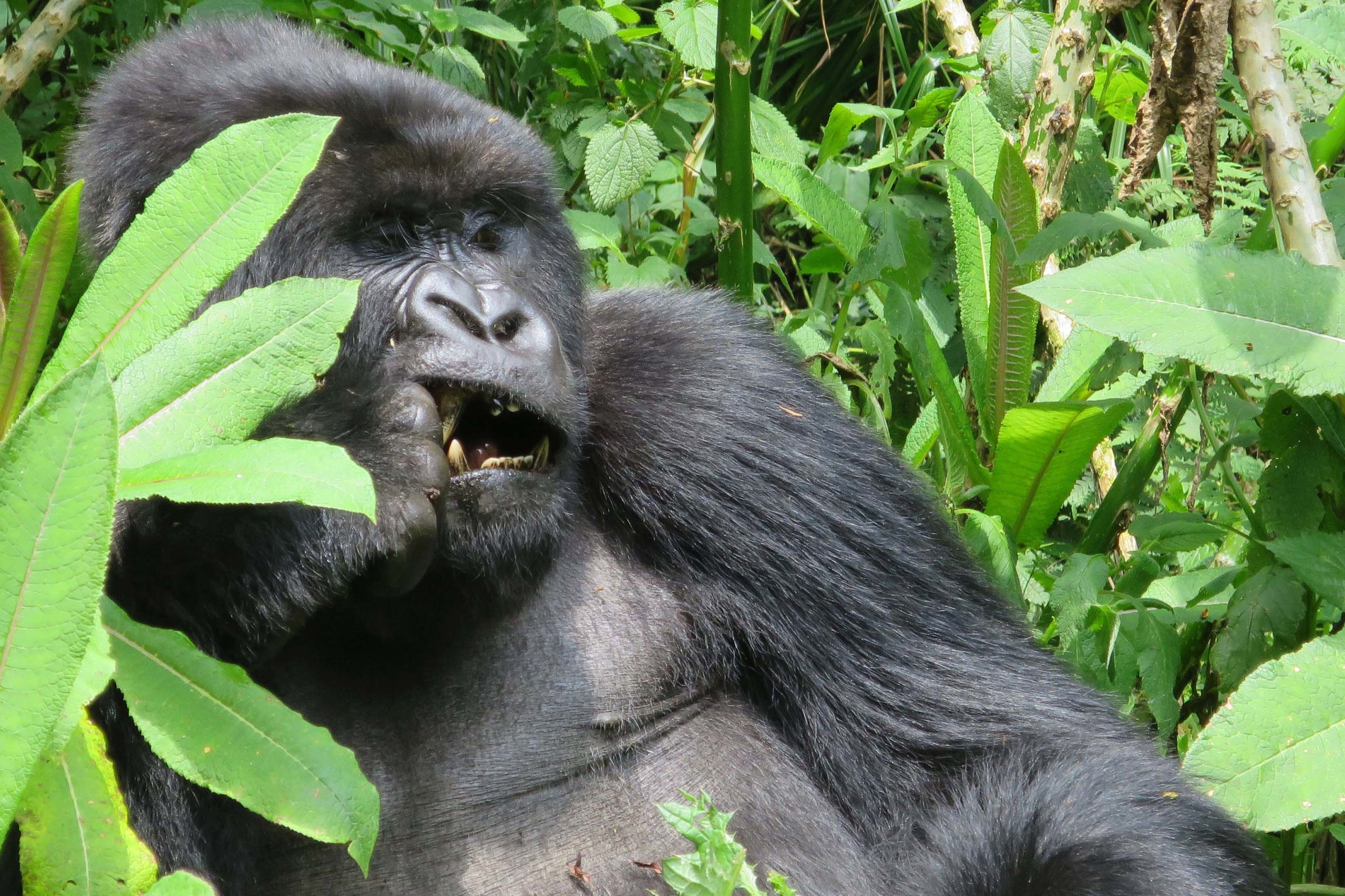 I was mesmerised by the first gorilla I saw in the wild, a female just hanging out, having a snack © Sarah Reid