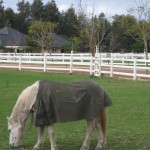 Work horse eating grass with white fence at Brookleigh Estate