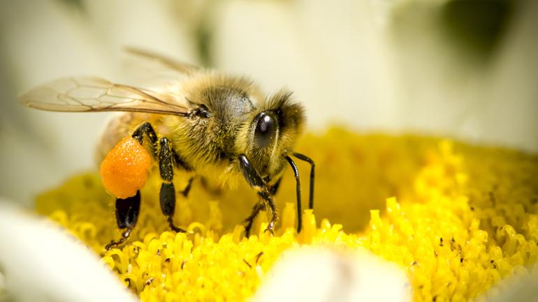 Macro Insect Honey Bee (Apis mellifera) on Daisy