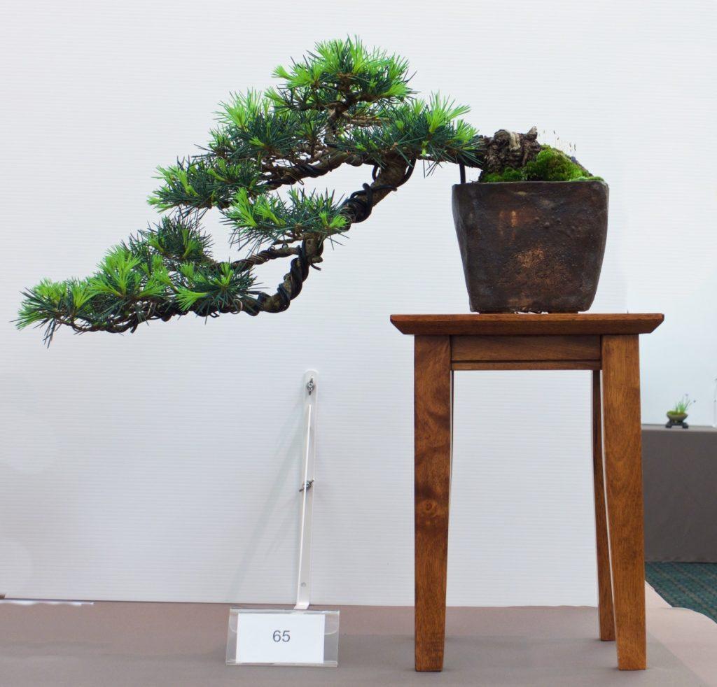 #65 Himalayan Cedar