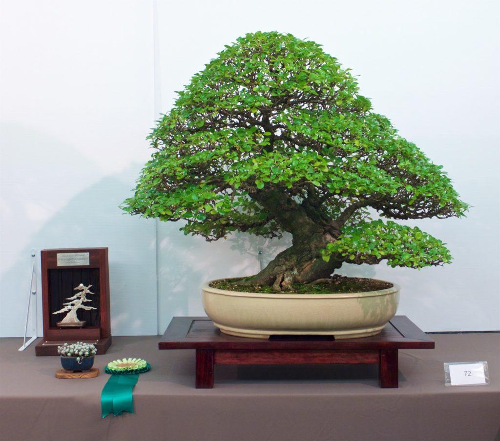 Tree #72 - Mirror Bush - Coprosma repens