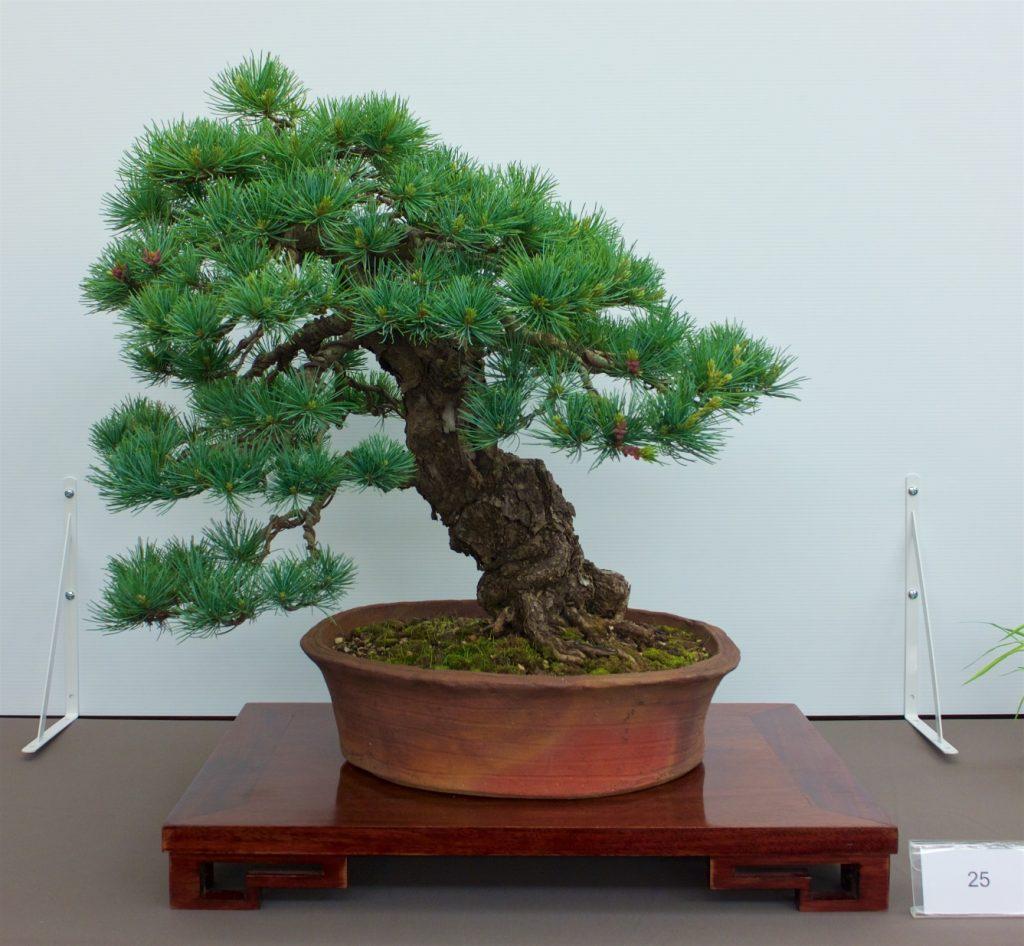 #25 Japanese White Pine