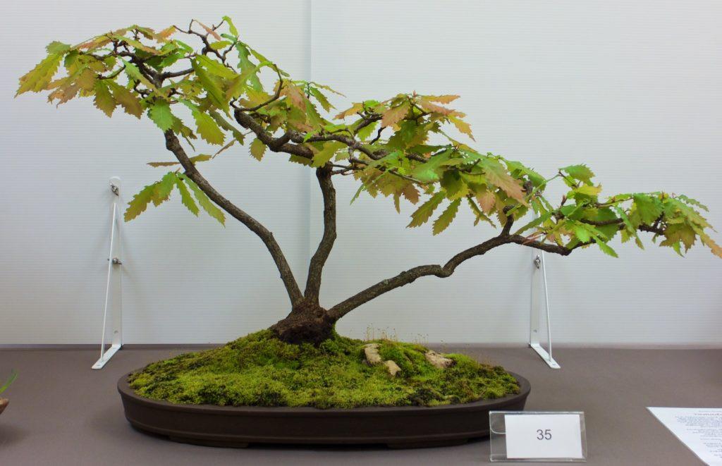 #35 English Oak