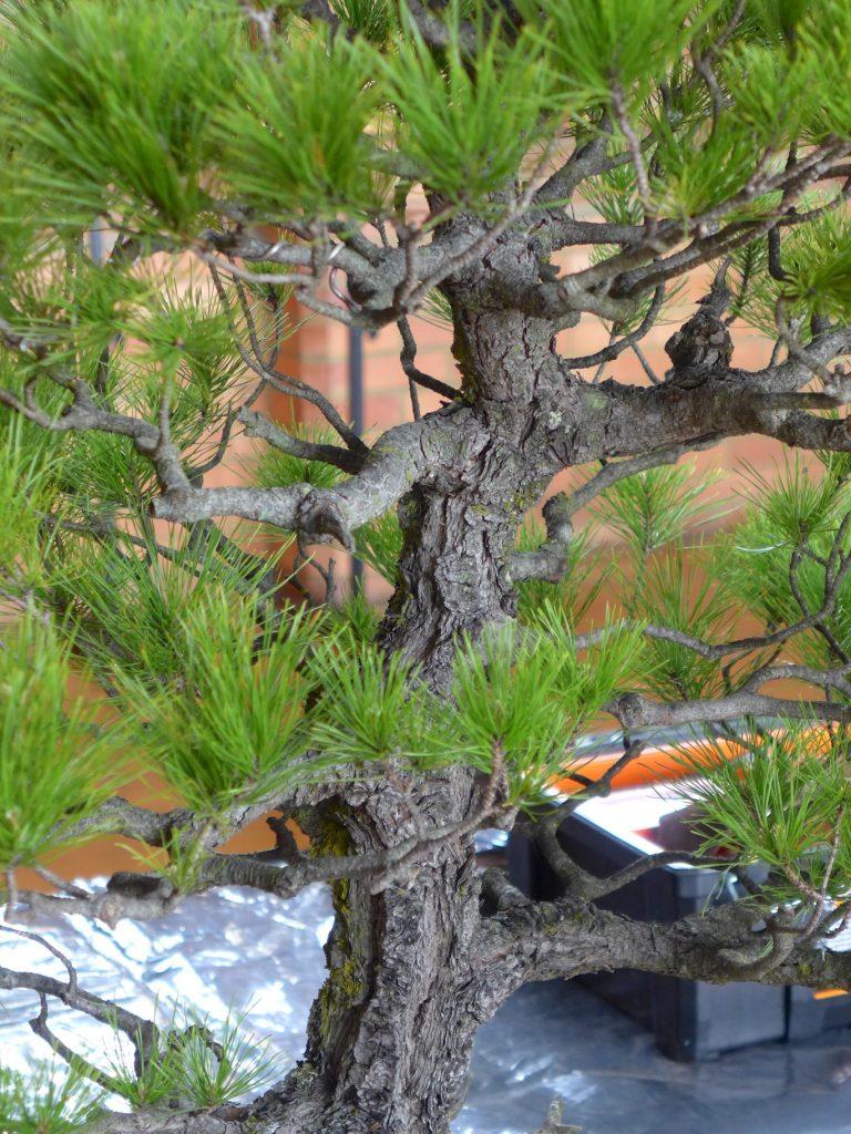 Pinus radiata detail