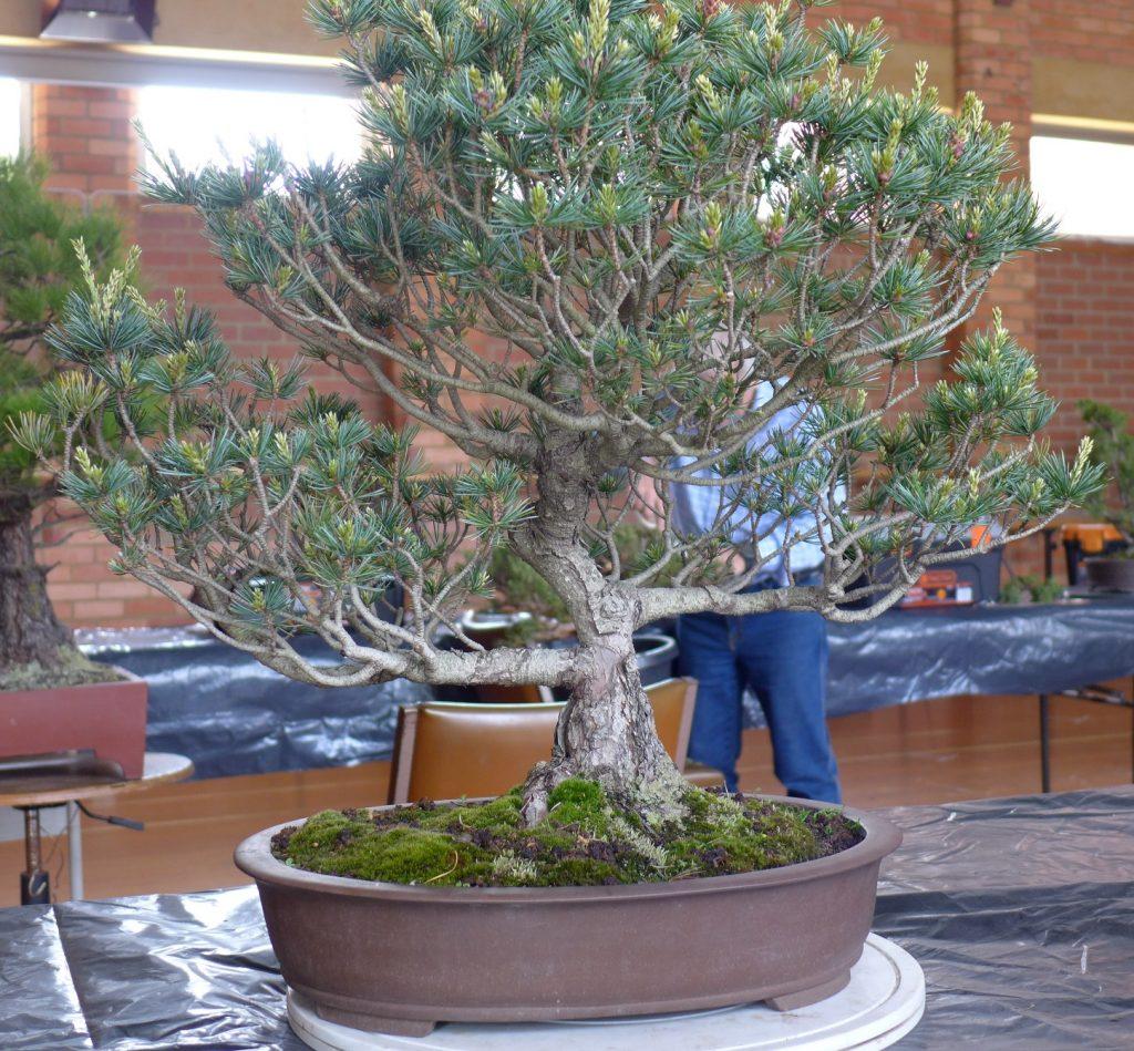 White Pine before.