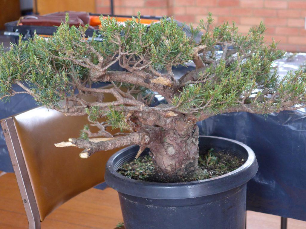 Scotts Pine - Pinus sylvestris