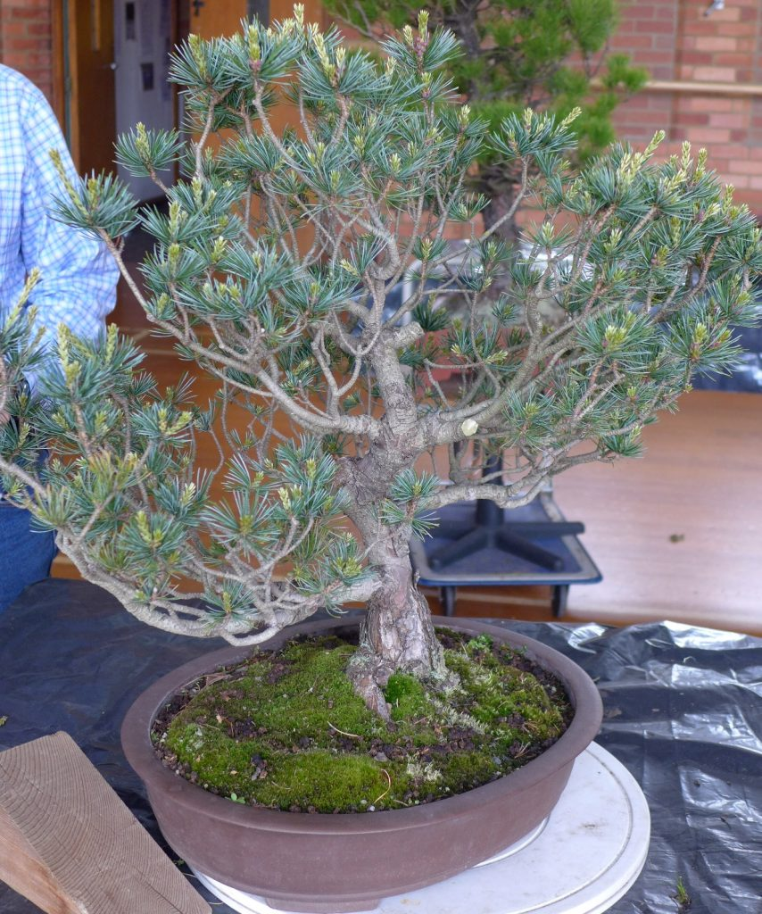 White Pine after adjustment.