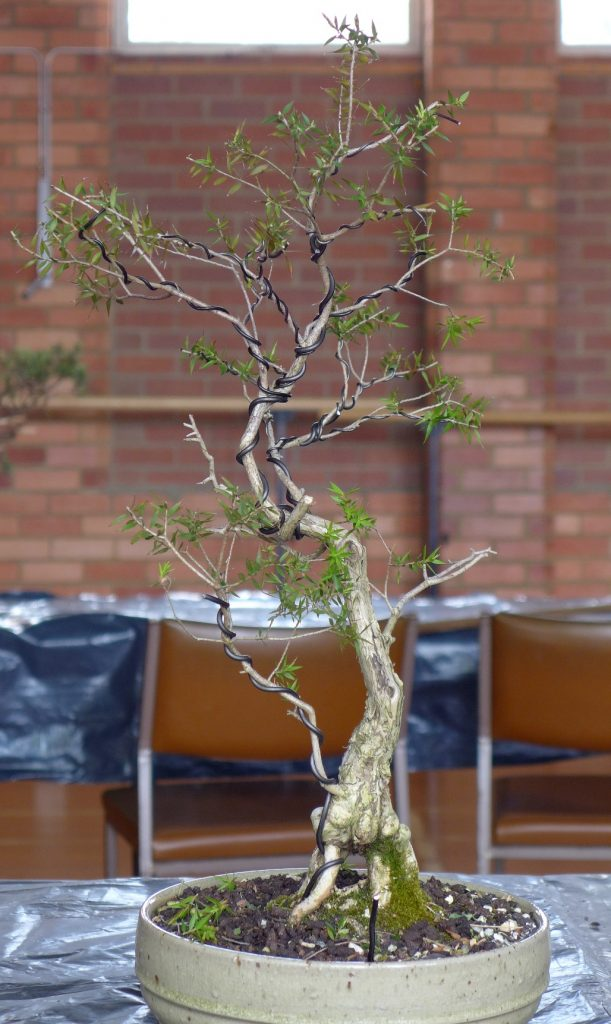 Prickly Paperbark after trim and wiring.